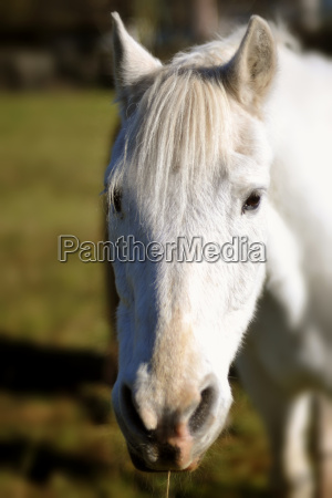 white horse in the paddock enjoys