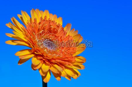 orange gerbera flower on sky background