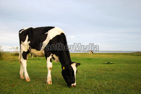grazing cow in a summer meadow