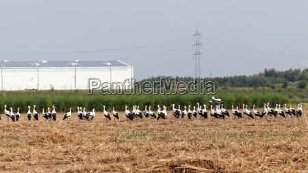 storks gather