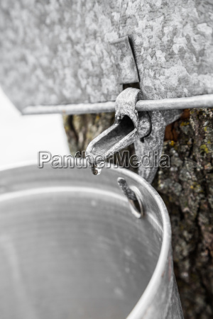 maple sap buckets on trees in
