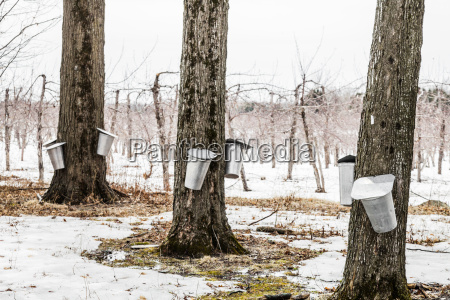 forest of maple sap buckets on