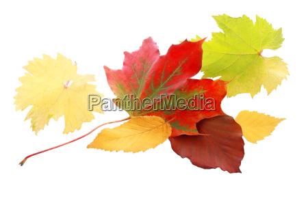 vibrant red autumn leaf