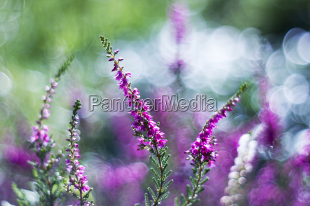 autumn heather with bokeh