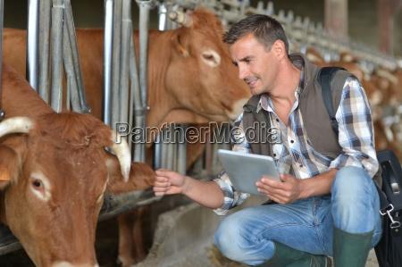 breeder in cow barn using digital