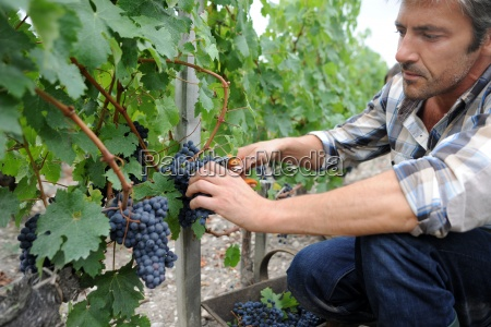 harvester cutting bunch of grapes in