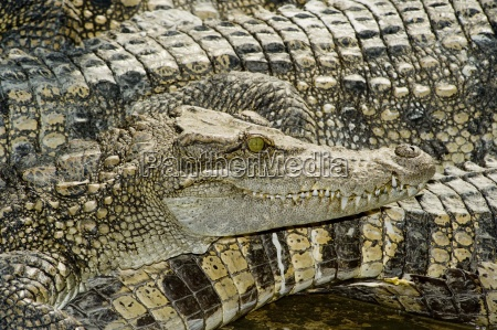 crocodile farm vietnam stockbreeding aligator crocodile