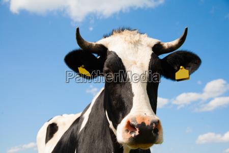 dutch cow