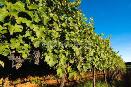 ripe grapes on vines