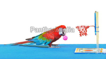 macaw playing basketball ball toy isolated