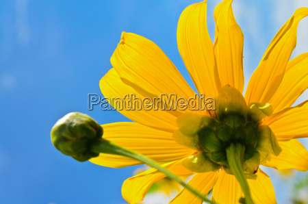 close up mexican sunflower weed flowers