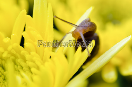 close up snail on yellow chrysanthemum