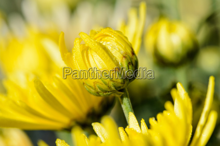 close up buds yellow chrysanthemum morifolium