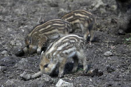 wild boar freshlings