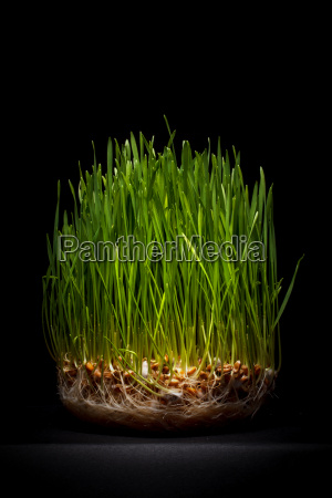 young, wheat, sprouts - 12548498