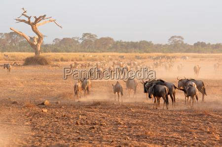 blue, wildebeest, in, dust - 12558488
