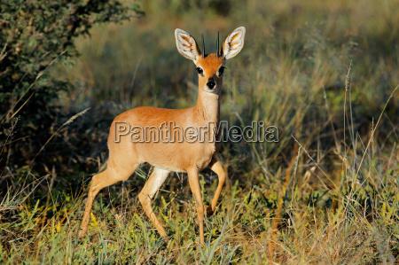 steenbok, antelope - 12558524