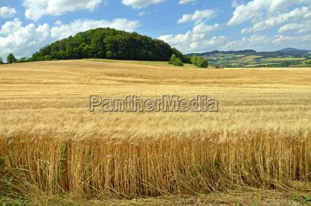 cereal field barley
