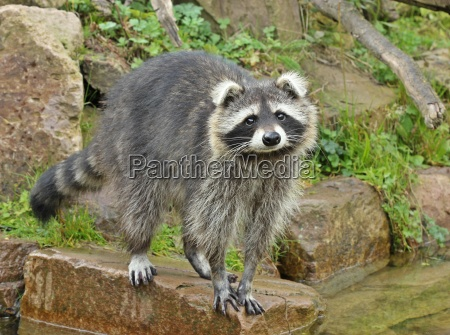raccoon procyon lotor with bend ears