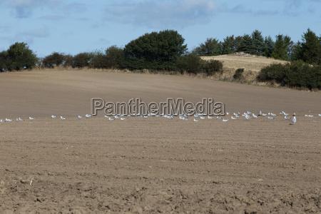 seagulls flock