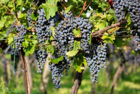 ripe grapes on weeinstoecken