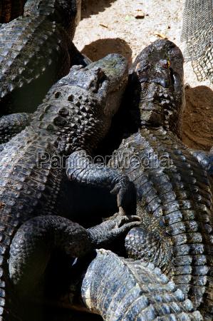 two american alligators snuggling