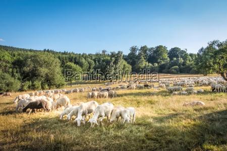 flock of sheep in the taunus