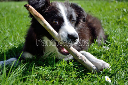 plays young border collie