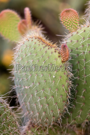 green prickly pear cactus leaf in