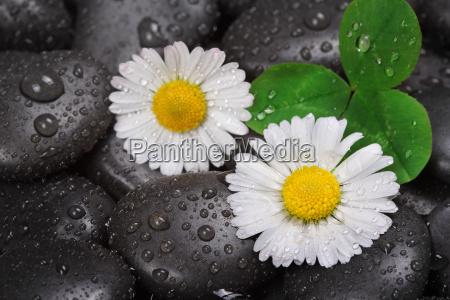 daisy on wet stones