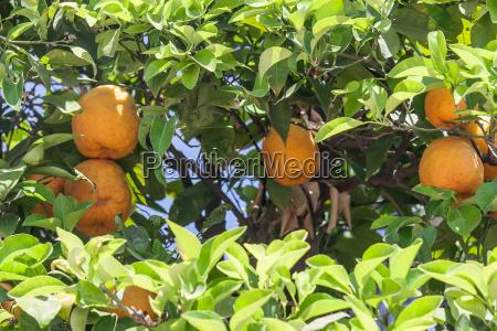 orange trees citrus sinensis