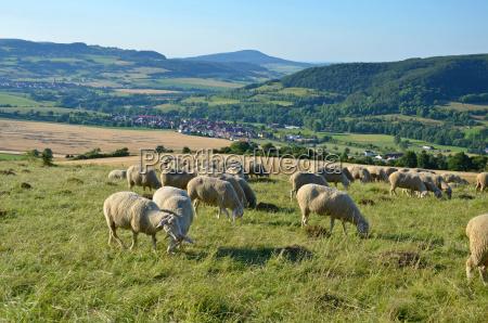 flock of sheep in the rhoen