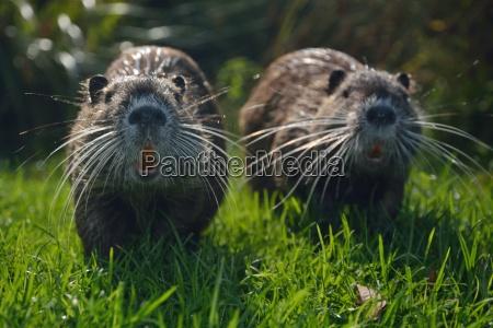young nutria beaver rat