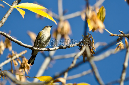 yellow rumped warbler perched in an