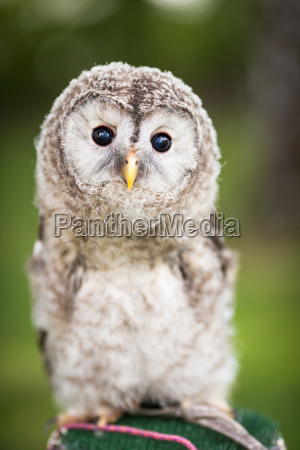 close up of a baby tawny