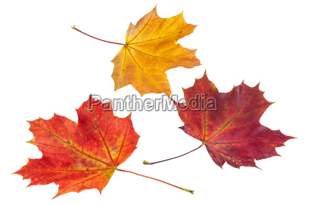 colorful autumn maple leaves on white