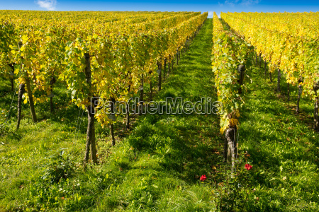 vineyard in autumn with yellow leaves