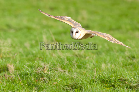 barn owl flying low
