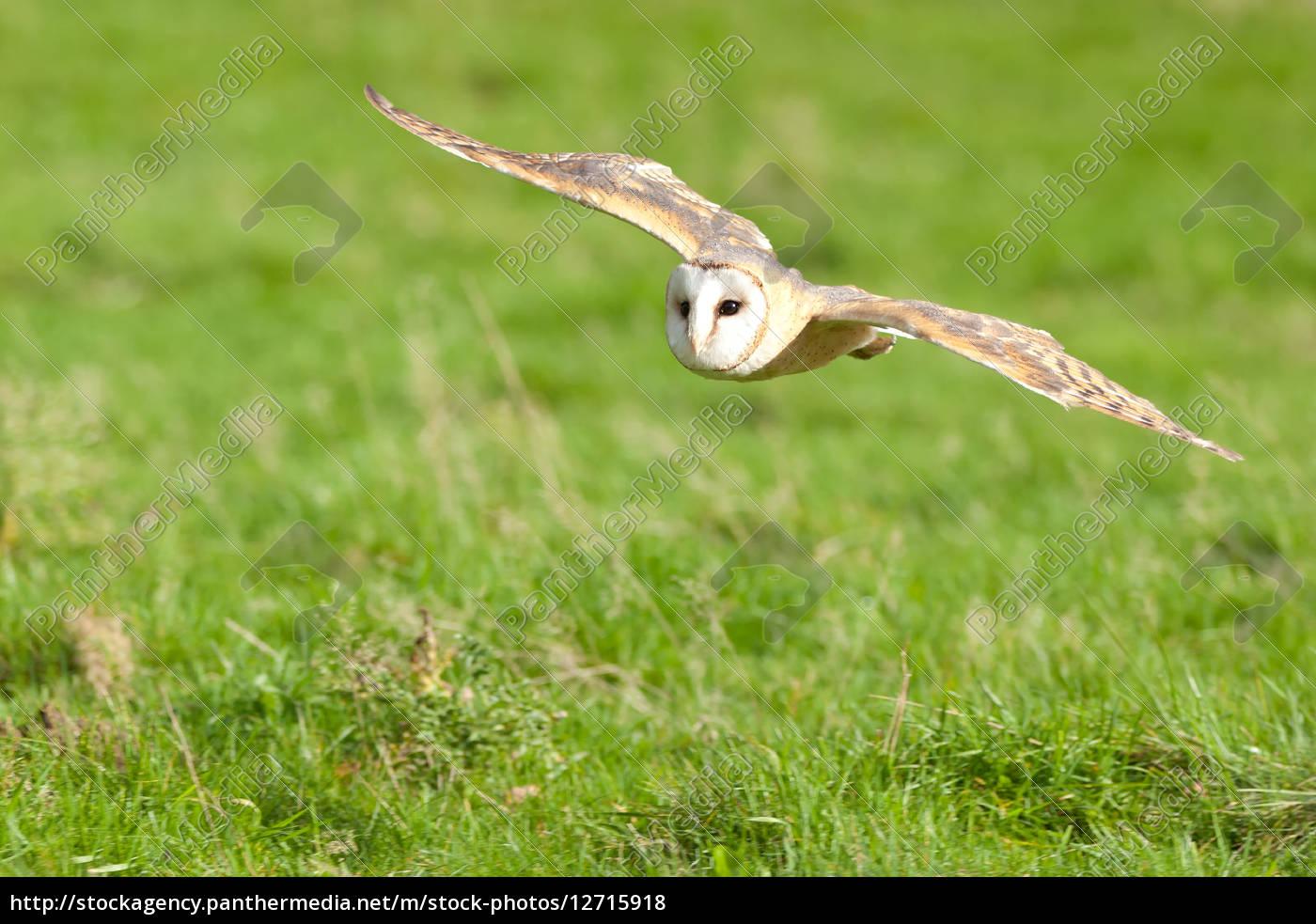 barn, owl, flying, low - 12715918
