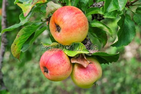apples - 12716162