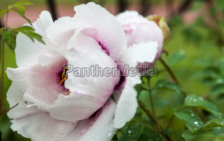 pale pink peony flower with drops
