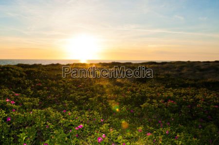 sunset flower field