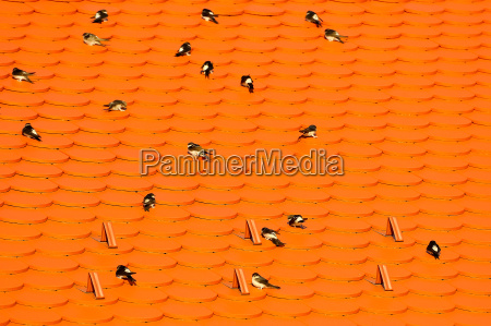swallows on the roof