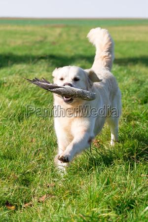 hunting dog at work