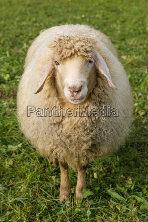 sheep on a green meadow