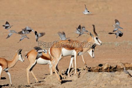 springbok and doves
