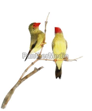 star finch birds