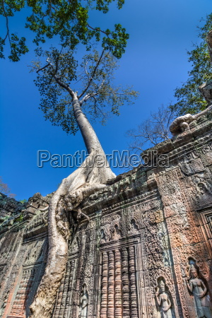 tree grown over ta prohm temple