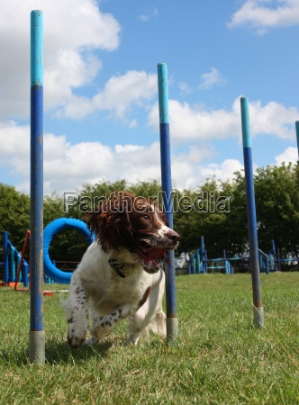 working type english springer spaniel pet