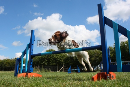 a working type english springer spaniel